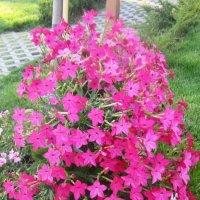 Летние цветы-душистый табак :: татьяна