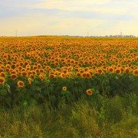 Поле солнечного цвета. :: Валентина ツ ღ✿ღ