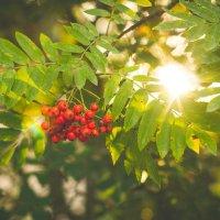 Рябина в лучах закатного солнца :: Алиса Кондрашова