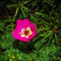 розовое настроение :: Ксения смирнова