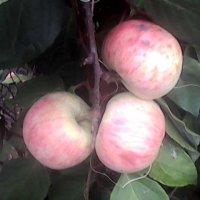 яблоки и лимонник :: Лебедев Виктор