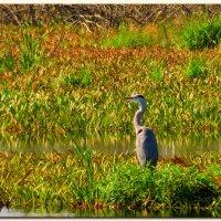 Цапля на болоте :: Михаил Цегалко