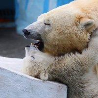 Обьятия белых медведей :: Владимир Шадрин