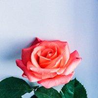 Роза 1. :: Alexandra G.