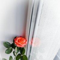 Роза 2. :: Alexandra G.