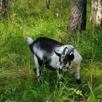 Коза, которая гуляет сама по себе :: Милешкин Владимир Алексеевич