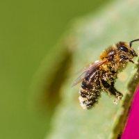 Пчела в пыльце :: Максим Никитенков