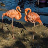Танец фламинго :: Игорь Герман