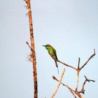 Малая зеленая щурка :: Надежда Кунилова