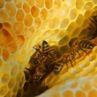 Пчелы строители :: Виктор Филиппов