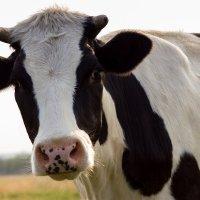 Портрет любопытной коровы :: Светлана Чуркина
