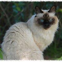 портрет кота :: Наталия П
