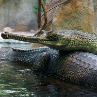 Крокодил :: IURII