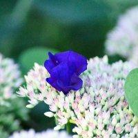 Синее на белом... :: Михаил Болдырев