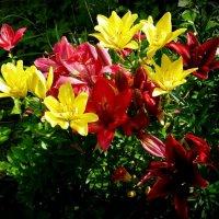 Лилии в моём саду :: Svetlana27