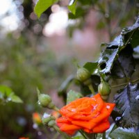 Orange rose :: Дмитрий Крыжановский