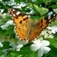 Бабочка на цветках калины. Репейница :: Olcen - Ольга Лён