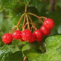 Калина красная, рубином светятся, искрятся грозди твои, в саду. :: Людмила Богданова (Скачко)