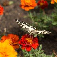 Тренируюсь в макро - бабочка :: Ольга Долбилина