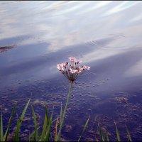 Цветочек у воды :: Татьяна Пальчикова