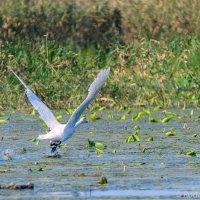 Взлетающий лебедь :: Сергей