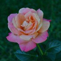 За цветущею розой колючею... :: *MIRA* **