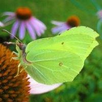Яркая бабочка. :: Valentina