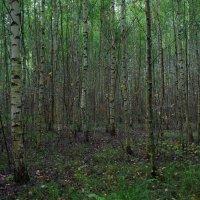 Заколдованный лес... :: марк