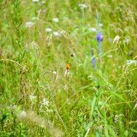 Луговая трава :: Natalia Grigoreva