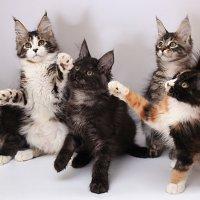 котята мейн-куны :: Анастасия Осипова