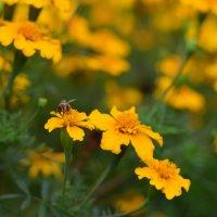 Пчелка :: Иван Птушкин