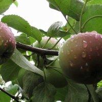 Яблоки, умытые дождем :: Ирина Останина