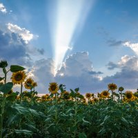 Луч света и подсолнухи. :: Александр Селезнев