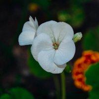 ещё ни много белого цвета :: Света Кондрашова
