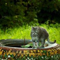 Дворовый кот :: D. Matyushin.
