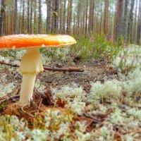 Мухомор в лесу :: Анастасия Белякова