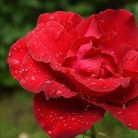 Красная роза :: Ксения Лабуш
