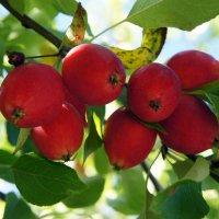 Яблочки в Пюхтицком монастыре :: Елена Павлова (Смолова)