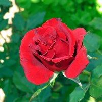 Роза :: Геннадий Храмцов