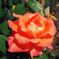 Роза в сентябре :: Татьяна