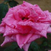 Роза августа под дождём... :: Тамара (st.tamara)