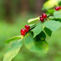 Лесные ягоды. :: Владимир Лазарев