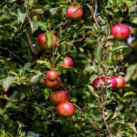Яблочки в чужом саду. :: Анатолий. Chesnavik.