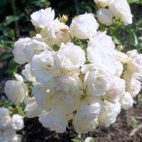 """Роза """"Boule de Neige"""". Год создания 1867. Группа старинные садовые розы, бурбонская :: Елена Павлова (Смолова)"""