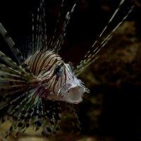 Морской тигр :: Александр (Алчи) Шерстнёв