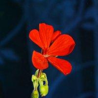 Цветок герани. :: Aлександр **