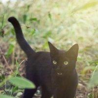 черный кот 2 :: Дмитрий Барабанщиков
