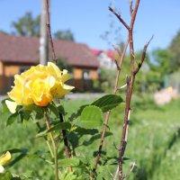 чайная роза :: Евгения Коркунова