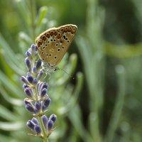 Polyommatus icarus - Голубянка икар. Самка :: Павел Руденко