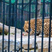 леопард :: Света Кондрашова